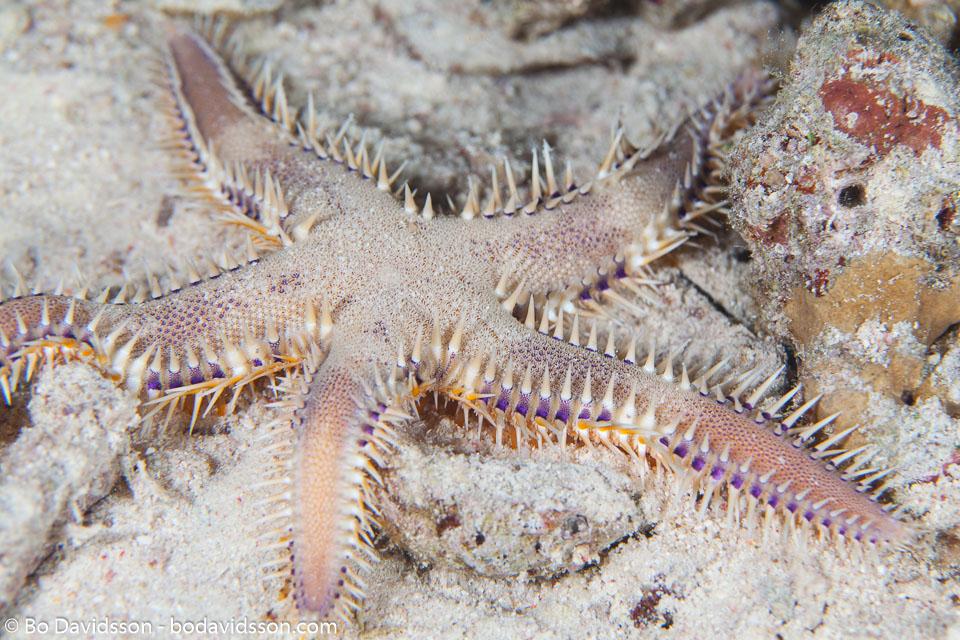 BD-150227-Gubal-Strait-7318-Astropecten-polyacanthus.-Müller---Troschel.-1842-[Comb-star].jpg